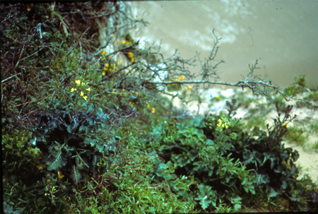 Brassica oleracea ssp. oleracea