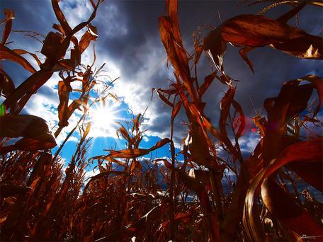 Sun and corn