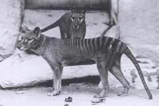 Tasmanian tiger in National Zoo, Washington D.C. 1904.
