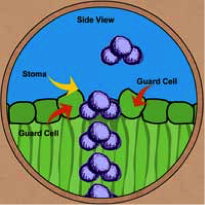 Diagram of water molecule leaving stomata - side view
