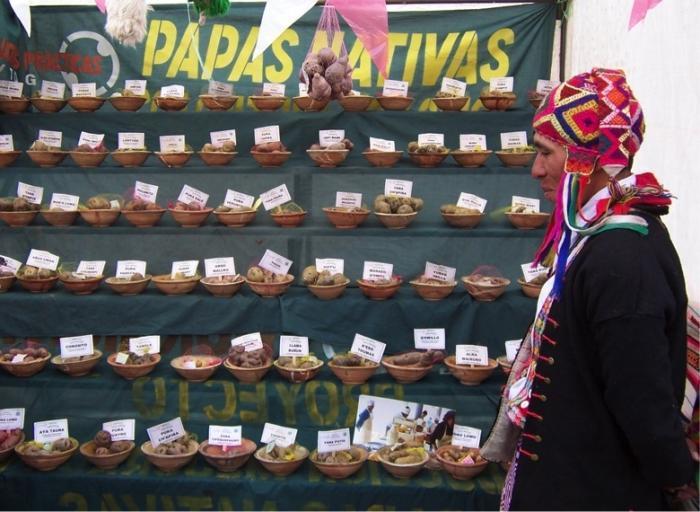 A farmer-educator with a Peruvian NGO presents several dozen native potato varieties from the department of Cuzco, Peru