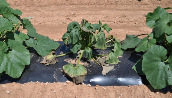 Figure 8.2.22: This pumpkin plant is infected with Bacterial wilt (<em>Ralstonia Solanacerarum</em>) that was vectored (introduced) by a cucumber beetle insect.