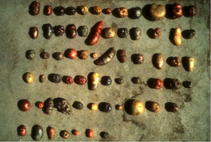 Nearly 70 Varieties of Andean Potatoes in a Local Agri-Food System in the Peruvian Andes