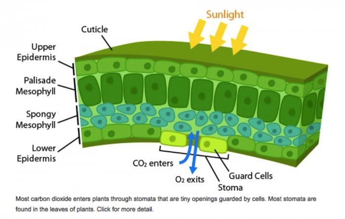 Schematic of gas exchange across plat stomata