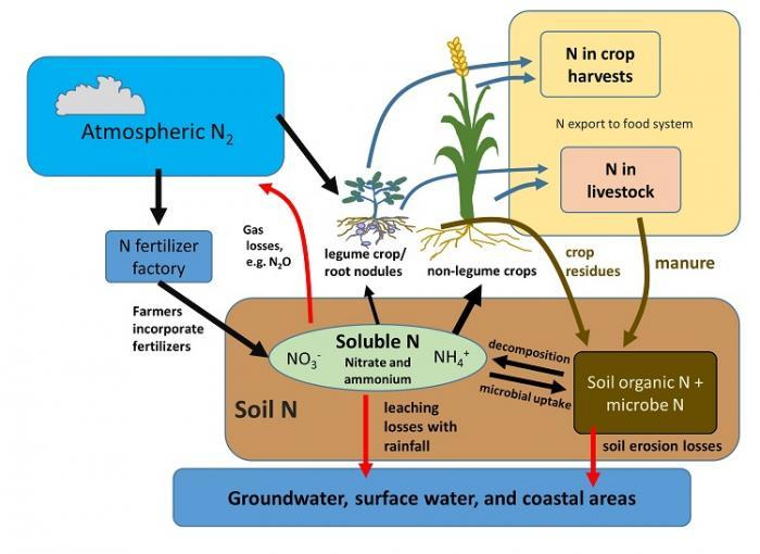 The nitrogen cycle and human management of soils schematic showing main features of nitrogen n cycling in food production systems ccuart Image collections