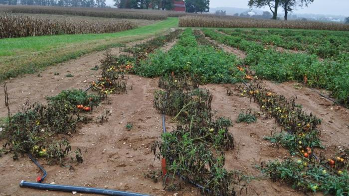 tomato plants suffering from blight