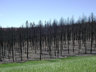 Aftermath of the 2000 Jasper Fire, west of Jewel Cave National Monument in the southern Black Hills of South Dakota.