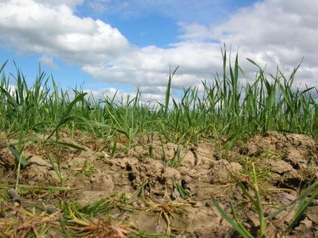Crops in dry ground