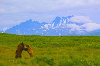 Grizzly bears, Alaska.