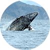 gray whale surfacing circle