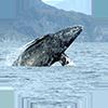 gray whale surfacing circle