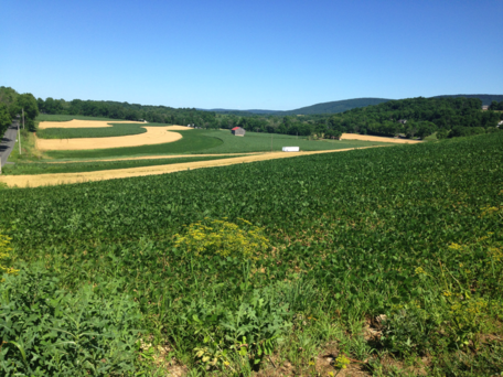Strip intercrop