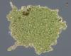 Rio Tinto Euglena Palmelloid