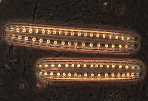 Diatoms from Mono Lake CA.