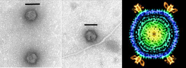 Sulfolobus Turreted Icosahedral Virus (STIV), EM images and cryo-reconstruction