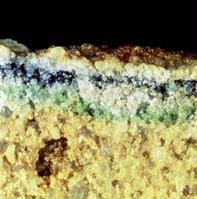 Cryptoendolith living in Antarctic sandstone.