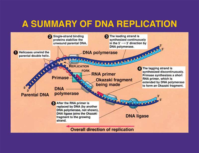 Transcription for What is a template in dna