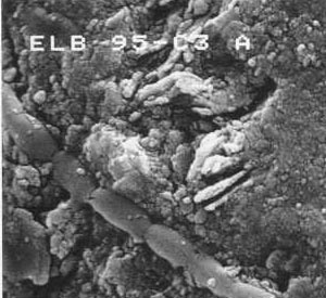 Cryogenic-SEM image of phormidium growing on mineral substrate, sampled from ice from east Lake Bonney, an Antarctic dry valley lake.