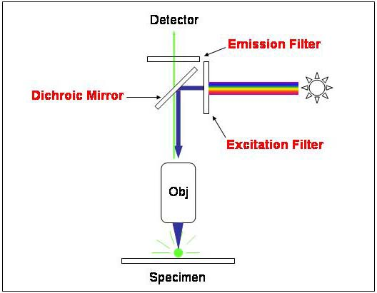 Fluorescent microscopy diagram of the filters in a fluorescent microscope aloadofball Image collections