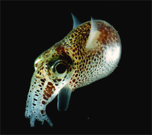 An adult Euprymna scolopes, a species of bioluminescent sepiolid squid