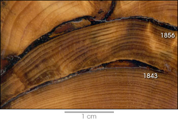 burn scars in tree rings