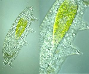 Hypsibius augusti, a Tardigrade