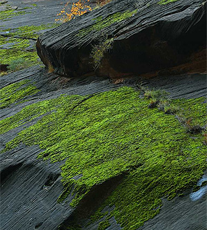 Moss on the walls of Zion Canyon