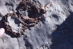 Image of rudist bivalve at the outcrop visited by conference attendees.