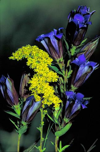 Prairie gentian and grey goldenrod flowers