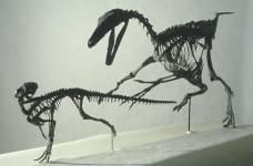 Dinosaur skeleton Troodon chases Orodromeus.