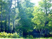 Swamp forest vegetation.