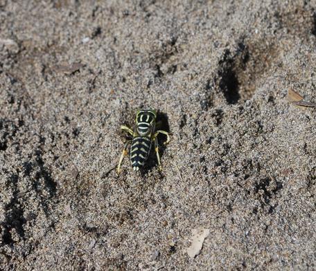 burrowing wasp