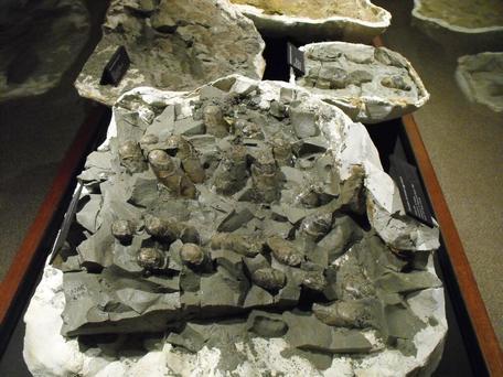 Troodon egg clutch MOR