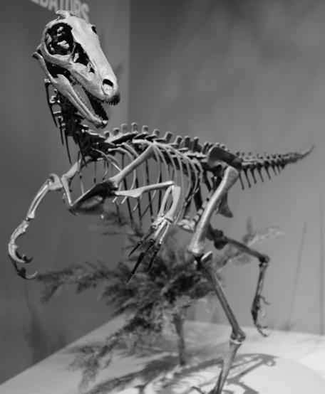 Troodon formosus skeleton