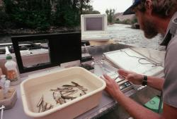 Biologist monitoring salmon.