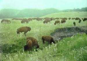 Bison grazing.