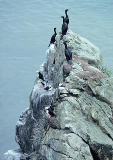 Red-crested cormorants and horned puffins, Pribilof Islands, AK.