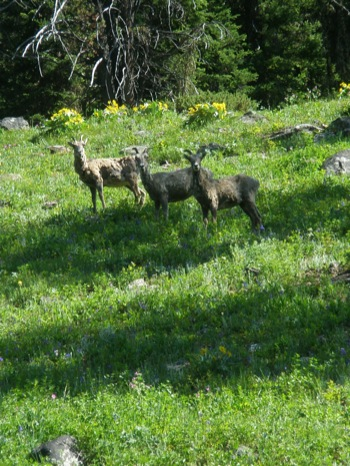 Big horn sheep on the Bear Basin Trail, July.