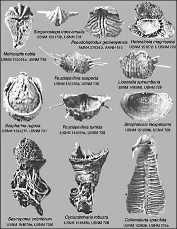brachiopods