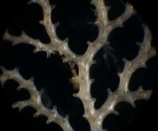 Modern Bryozoan.