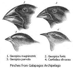 Darwin\'s Finches