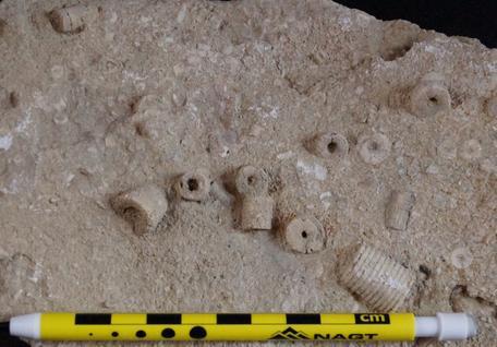 Crinoid fragments