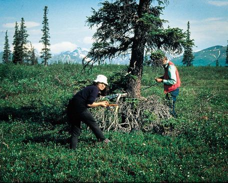 Dr. Rosanne D'Arrigo cores a tree in Mongolia