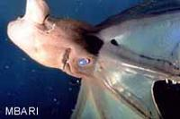 Vampire Squid Photo: Kim Reisenbichler (c) 1996 MBARI