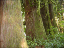 Old-growth cedars initially established on nurse log