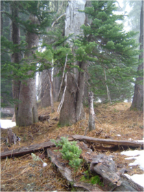Subalpine fir seedlings growing on a nurse log at timberline